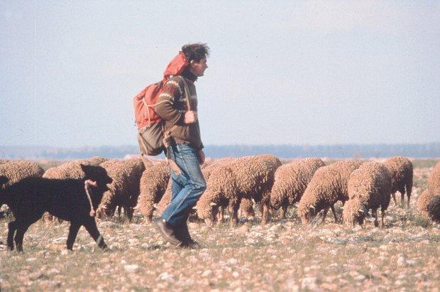 Photo : J. BOUTIN / DIREN PAC - Le pâturage évite la fermeture des milieux herbacés. Ici un berger dans la RN Coussouls de Crau